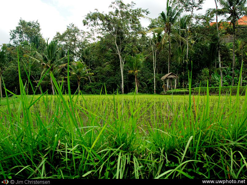 Rice Paddy: