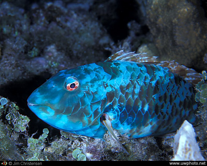 Parrotfish: A Midnight Parrotfish <I>Scarus coelestinus</I> asleep on the reef.