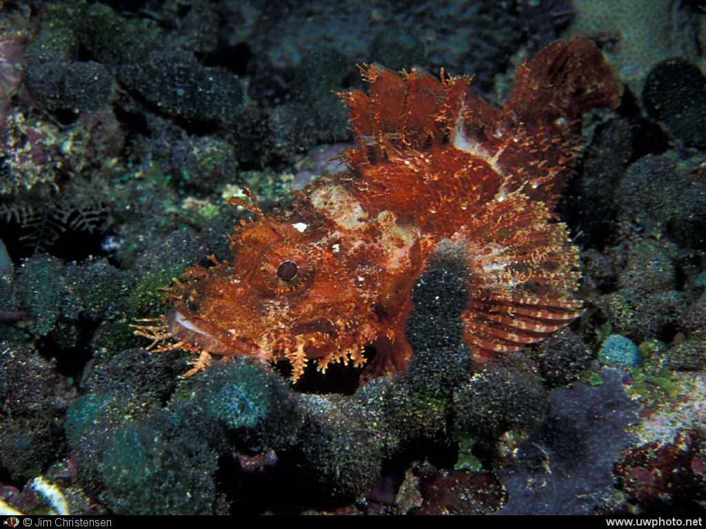 Scorpionfish: Scorpionfish come in many colors.