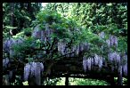 Canopy of Wisteria