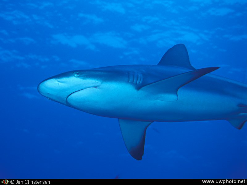 Reef Shark:  A Grey Reef Shark <I>Carcharhinus amblyrhynchos</i> cruises along the reef.