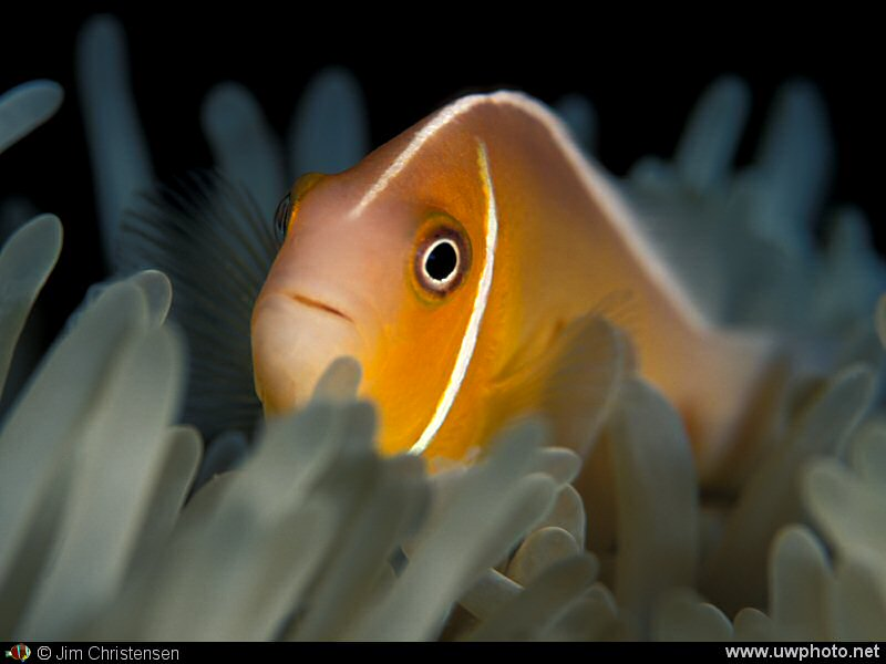 Clownfish: A Pink Anemonefish <I>Amphiprion perideraion</I> peeks out.
