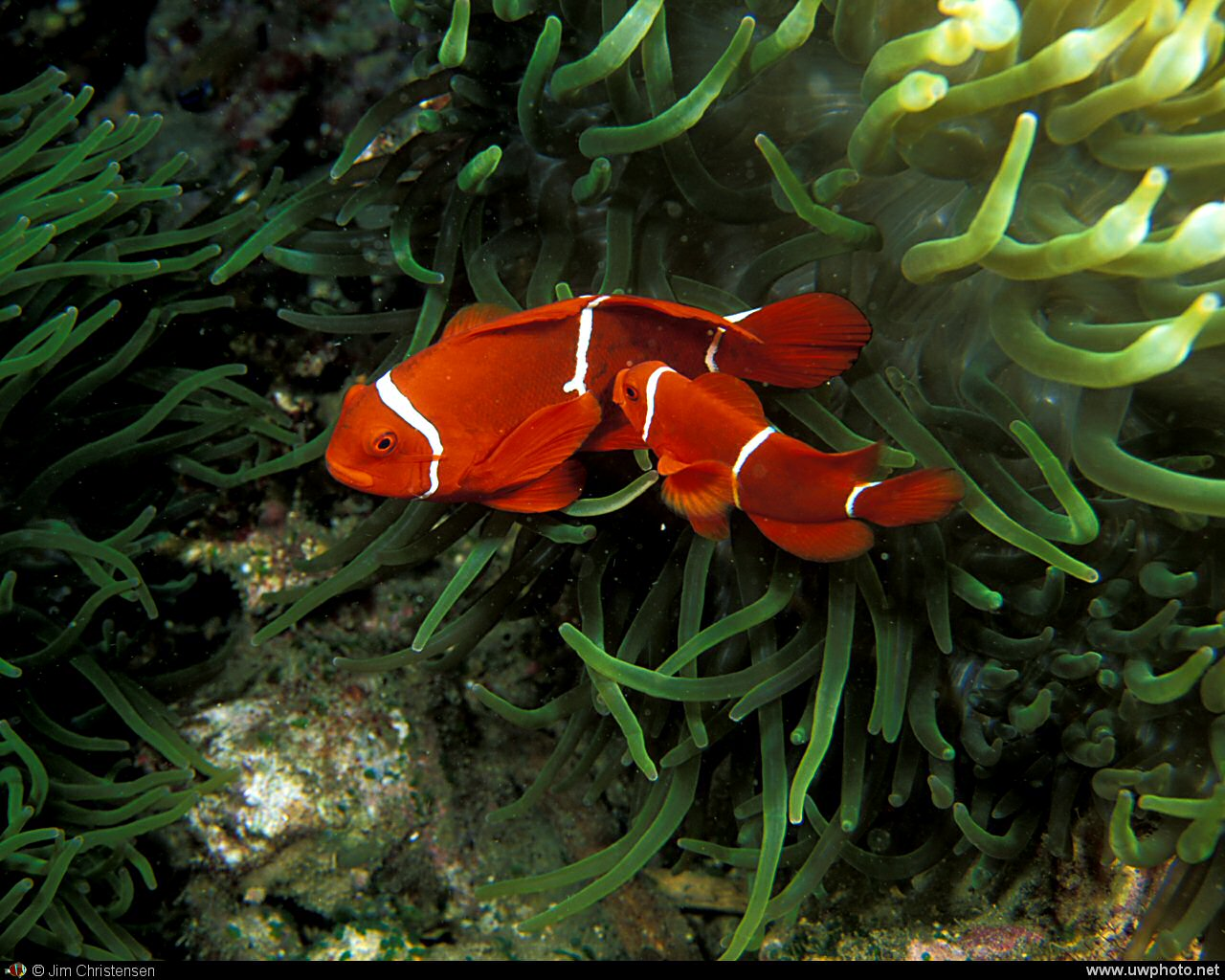 Anemonefish: Two Spinecheek Anemonefish <I>Premnas biaculeatus</I>.