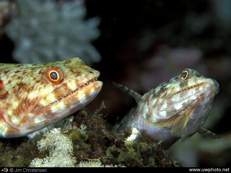 Lizardfish: A pair of Lizardfish rest on the reef, waiting for dinner to swim by...