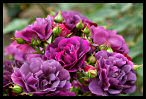 Visit the Roses Image Gallery