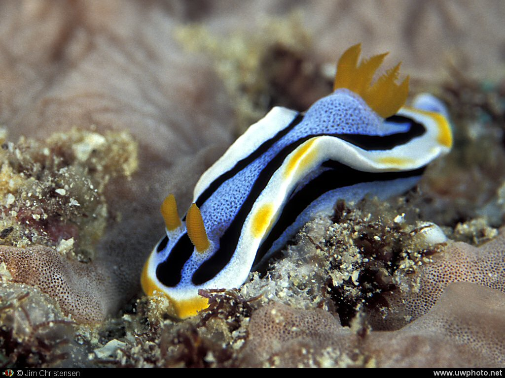 Quadracolor Nudibranch : In the quadracolor nudibranch family there are a variety species that are very similar.  This is the <I>Chromodoris annae</I>.