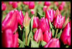 Visit the Tulips Photo Gallery