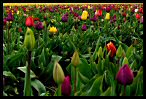 Visit the Tulips Wallpaper Gallery